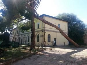 Il pino difronte alla sede di Chille de La Ballanza